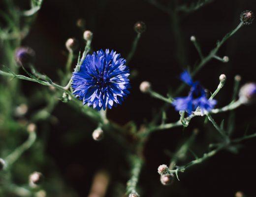 Kornblumen in Blau
