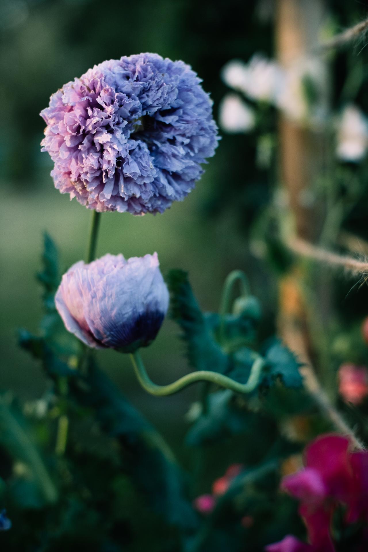 "Päonienmohn ""Lilac Peony"""